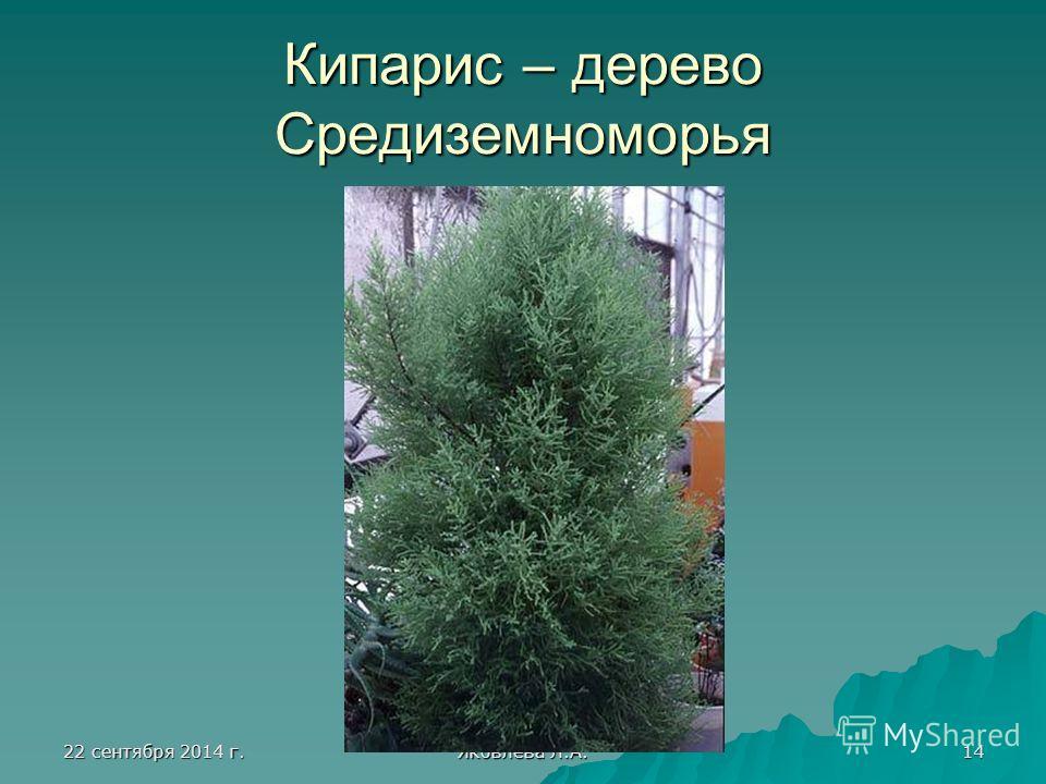 22 сентября 2014 г.22 сентября 2014 г.22 сентября 2014 г.22 сентября 2014 г. Яковлева Л.А. 14 Кипарис – дерево Средиземноморья