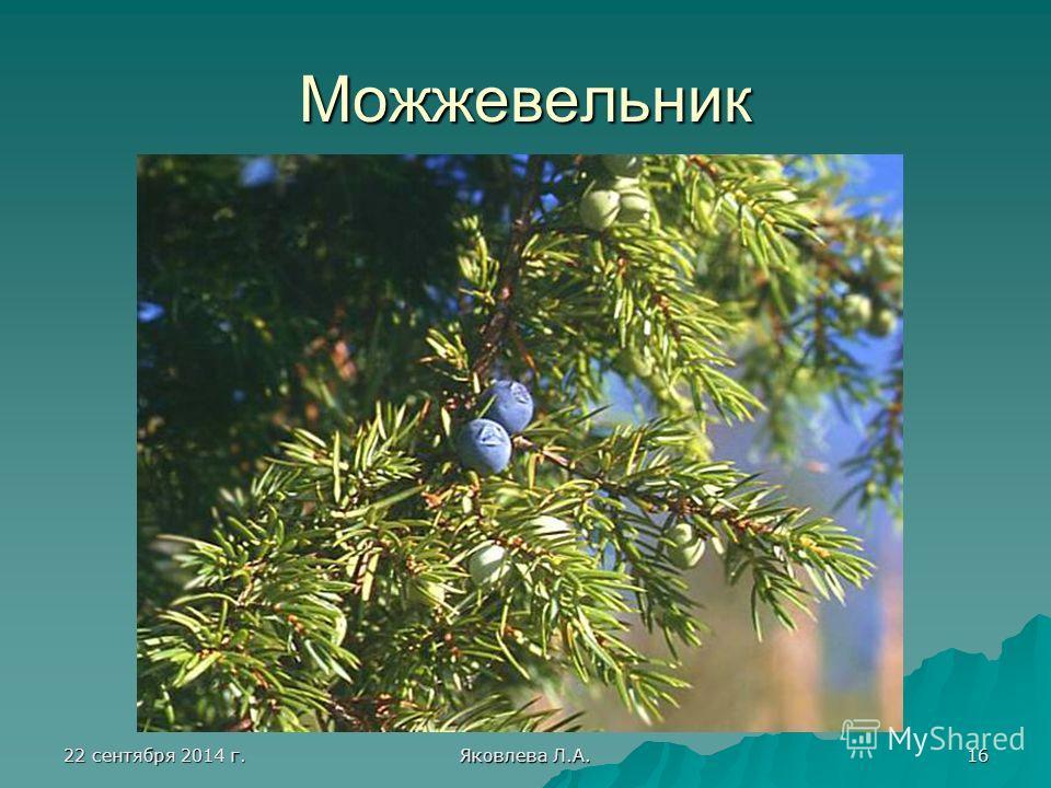 22 сентября 2014 г.22 сентября 2014 г.22 сентября 2014 г.22 сентября 2014 г. Яковлева Л.А. 16 Можжевельник
