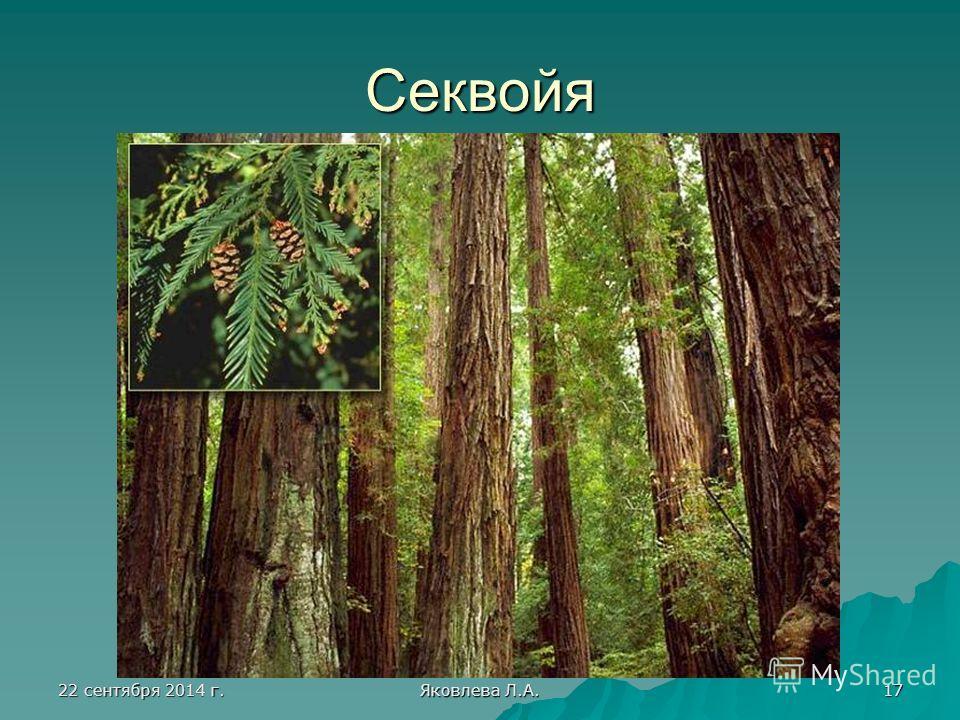 22 сентября 2014 г.22 сентября 2014 г.22 сентября 2014 г.22 сентября 2014 г. Яковлева Л.А. 17 Секвойя