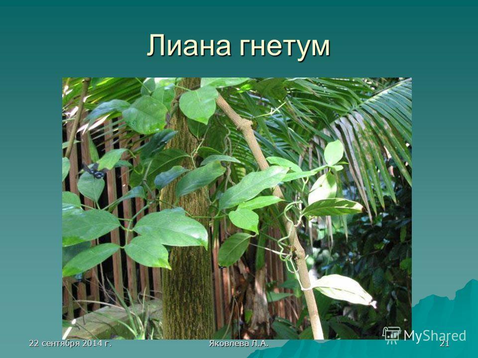 22 сентября 2014 г.22 сентября 2014 г.22 сентября 2014 г.22 сентября 2014 г. Яковлева Л.А. 21 Лиана гнетум
