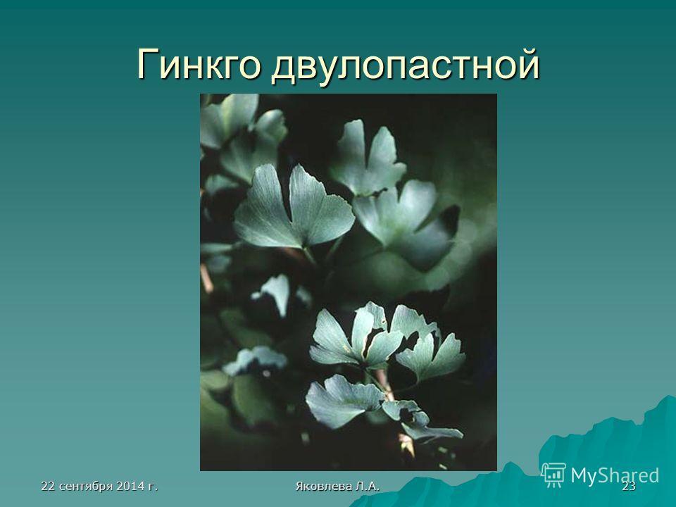 22 сентября 2014 г.22 сентября 2014 г.22 сентября 2014 г.22 сентября 2014 г. Яковлева Л.А. 23 Гинкго двулопастной