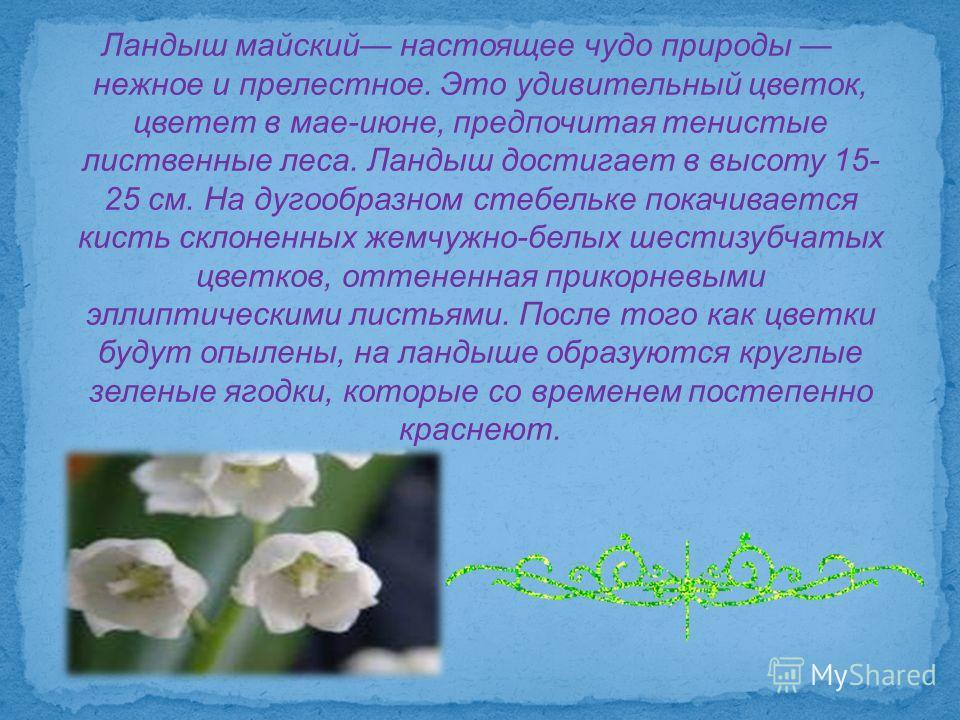 Ландыш майский настоящее чудо природы нежное и прелестное. Это удивительный цветок, цветет в мае-июне, предпочитая тенистые лиственные леса. Ландыш достигает в высоту 15- 25 см. На дугообразном стебельке покачивается кисть склоненных жемчужно-белых ш