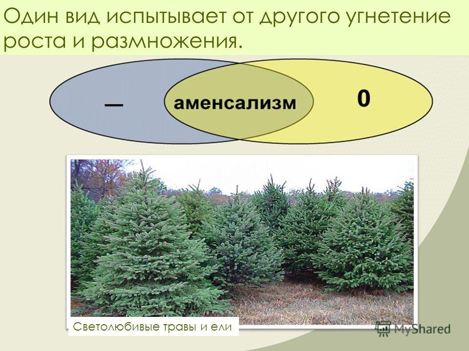 Один вид испытывает от другого угнетение роста и размножения. Светолюбивые травы и ели