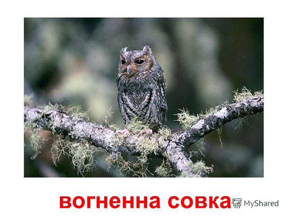 яструбина сова