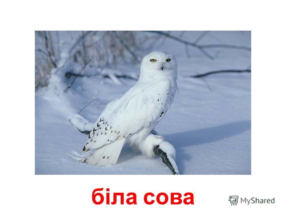 комарно сова (сипуха)