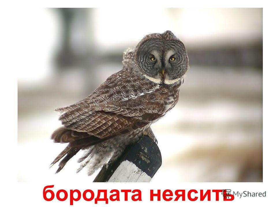 віргінський пугач