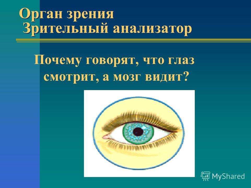Орган зрения Зрительный анализатор Почему говорят, что гласз смотрит, а мозг видит?