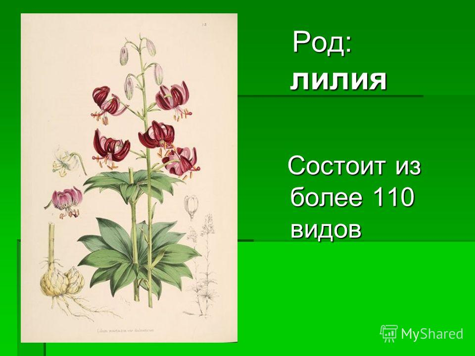 Род: лилия Род: лилия Состоит из более 110 видов Состоит из более 110 видов