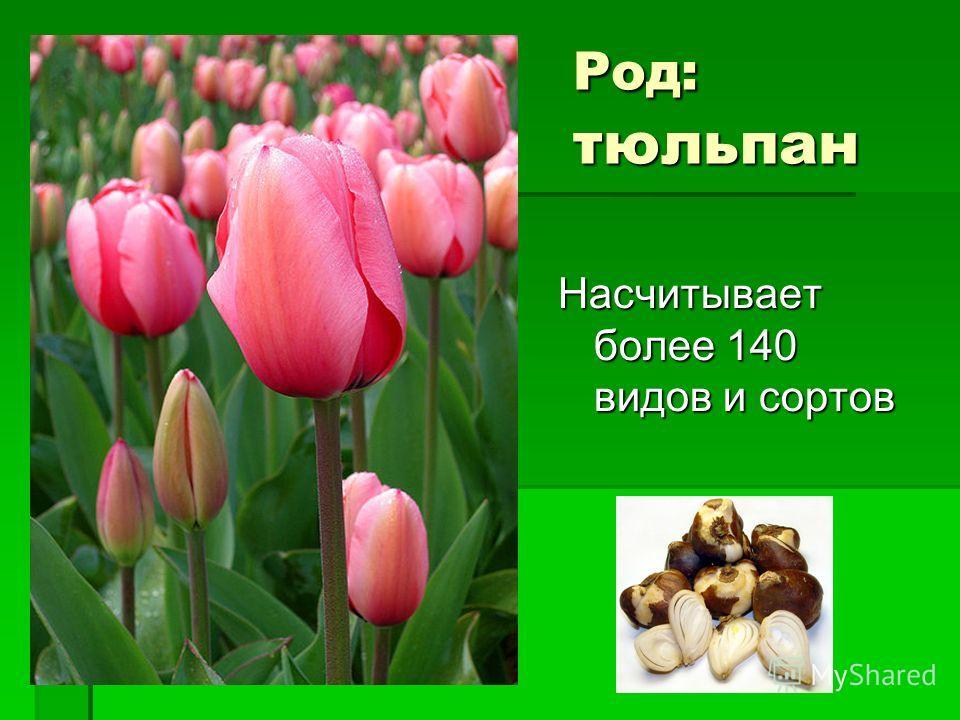 Род: тюльпан Насчитывает более 140 видов и сортов
