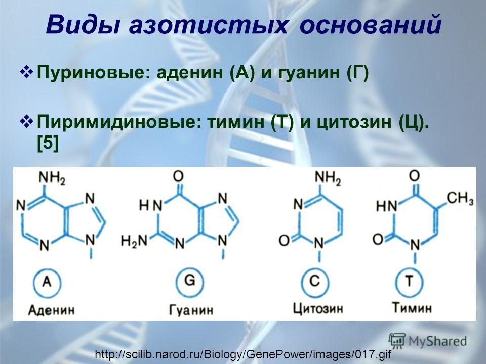 Виды азотистых оснований Пуриновые: аденин (А) и гуанин (Г) Пиримидиновые: тимин (Т) и цитозин (Ц). [5] http://scilib.narod.ru/Biology/GenePower/images/017.gif
