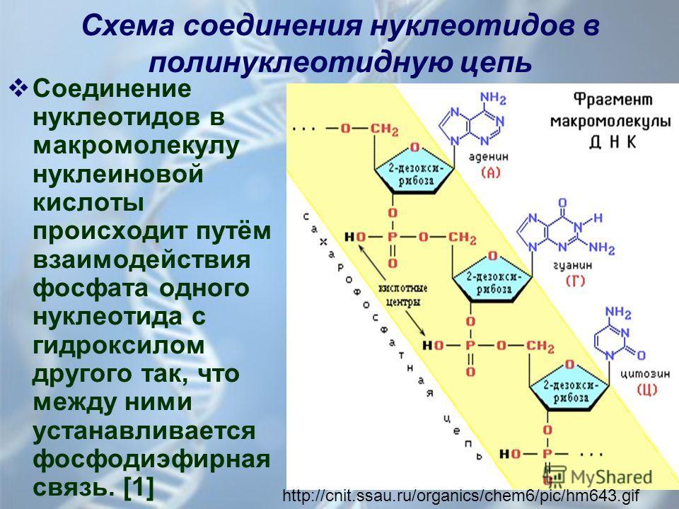 Схема соединения нуклеотидов в полинуклеотидную цепь Соединение нуклеотидов в макромолекулу нуклеиновой кислоты происходит путём взаимодействия фосфата одного нуклеотида с гидроксилом другого так, что между ними устанавливается фосфодиэфирная связь.