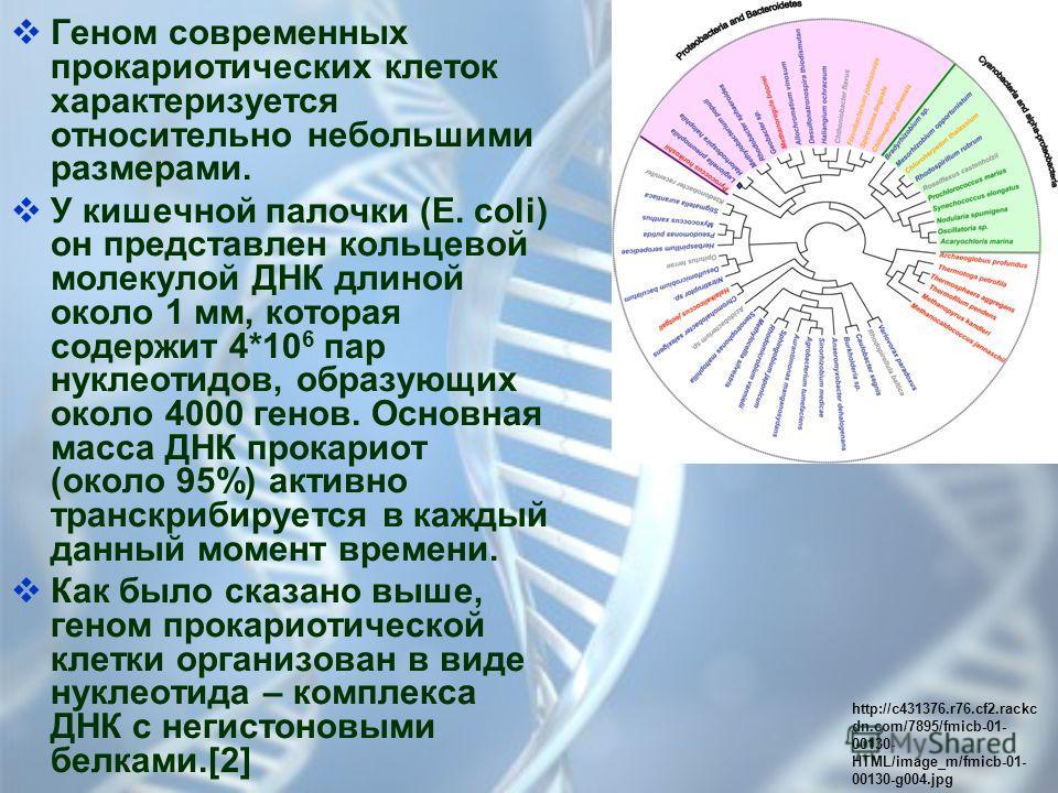 Геном современных прокариотических клеток характеризуется относительно небольшими размерами. У кишечной палочки (E. coli) он представлен кольцевой молекулой ДНК длиной около 1 мм, которая содержит 4*10 6 пар нуклеотидов, образующих около 4000 генов.