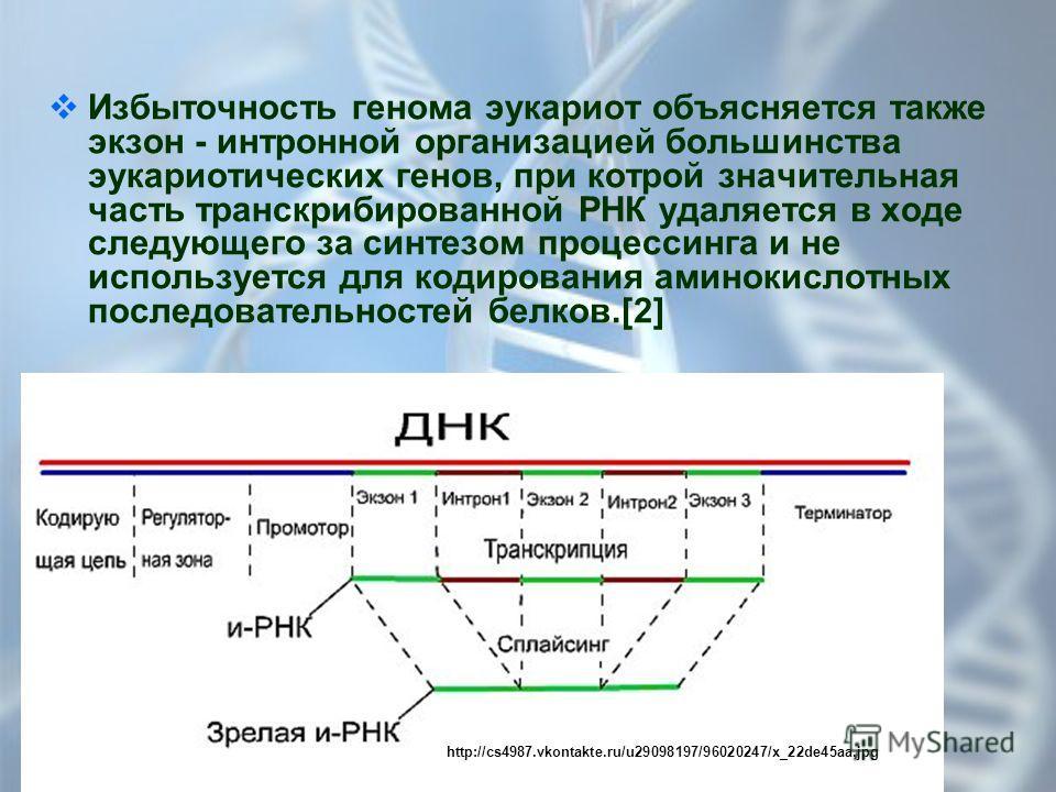 Избыточность генома эукариот объясняется также экзон - интронной организацией большинства эукариотических генов, при котрой значительная часть транскрибированной РНК удаляется в ходе следующего за синтезом процессинга и не используется для кодировани