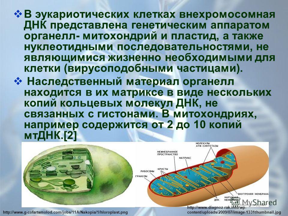 В эукариотических клетках внехромосомная ДНК представлена генетическим аппаратом органелл- митохондрий и пластид, а также нуклеотидными последовательностями, не являющимися жизненно необходимыми для клетки (вирусоподобными частицами). Наследственный