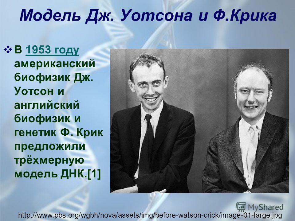 Модель Дж. Уотсона и Ф.Крика В 1953 году американский биофизик Дж. Уотсон и английский биофизик и генетик Ф. Крик предложили трёхмерную модель ДНК.[1] http://www.pbs.org/wgbh/nova/assets/img/before-watson-crick/image-01-large.jpg