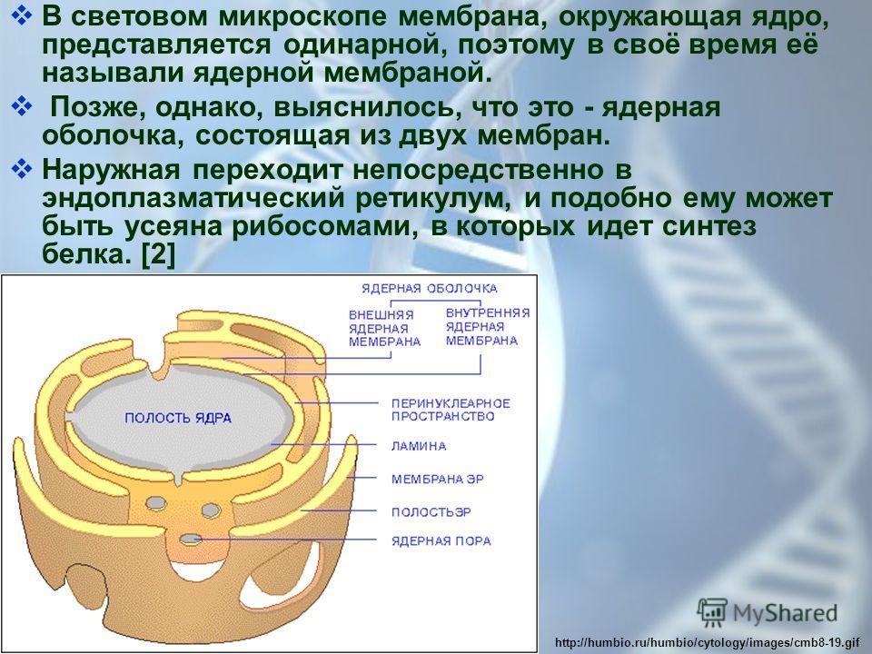 В световом микроскопе мембрана, окружающая ядро, представляется одинарной, поэтому в своё время её называли ядерной мембраной. Позже, однако, выяснилось, что это - ядерная оболочка, состоящая из двух мембран. Наружная переходит непосредственно в эндо