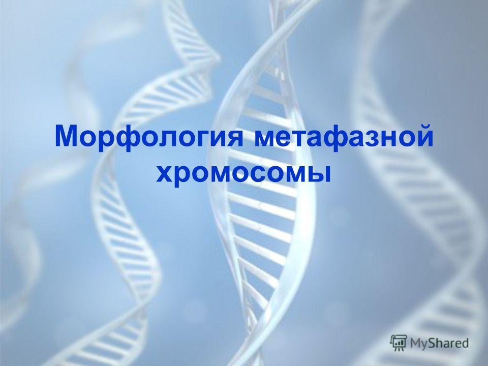 Морфология метафазной хромосомы