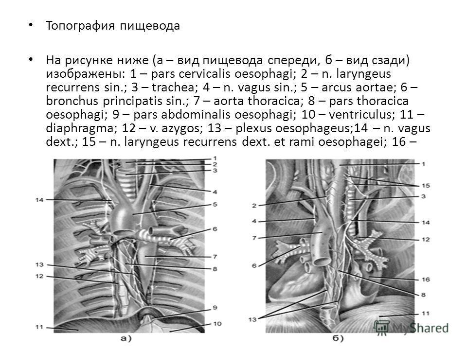 Топография пищевода На рисунке ниже (а – вид пищевода спереди, б – вид сзади) изображены: 1 – pars cervicalis oesophagi; 2 – n. laryngeus recurrens sin.; 3 – trachea; 4 – n. vagus sin.; 5 – arcus aortae; 6 – bronchus principatis sin.; 7 – aorta thora