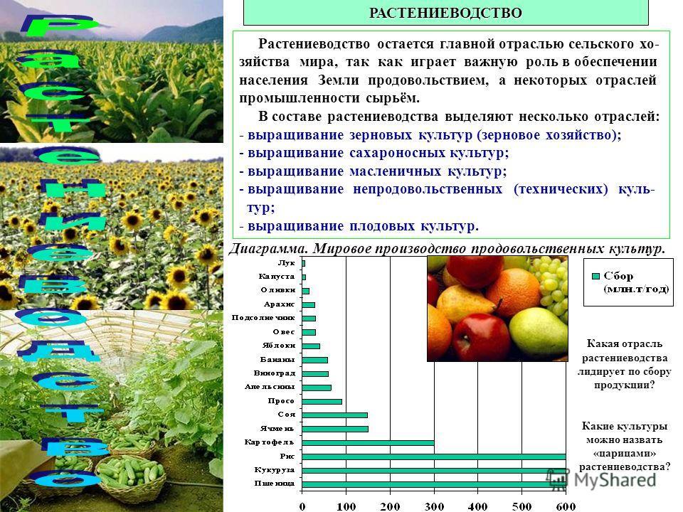 РАСТЕНИЕВОДСТВО Растениеводство остается главной отраслью сельского хозяйства мира, так как играет важную роль в обеспечении населения Земли продовольствием, а некоторых отраслей промышленности сырьём. В составе растениеводства выделяют несколько отр