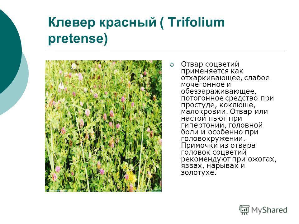Клевер красный ( Trifolium pretense) Отвар соцветий применяется как отхаркивающее, слабое мочегонное и обеззараживающее, потогонное средство при простуде, коклюше, малокровии. Отвар или настой пьют при гипертонии, головной боли и особенно при головок