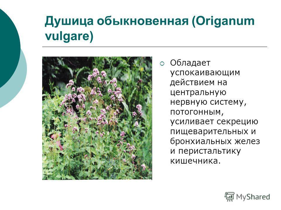 Душица обыкновенная (Origanum vulgare) Обладает успокаивающим действием на центральную нервную систему, потогонным, усиливает секрецию пищеварительных и бронхиальных желез и перистальтику кишечника.