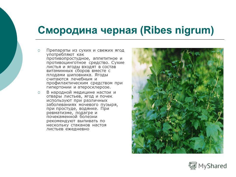 Смородина черная (Ribes nigrum) Препараты из сухих и свежих ягод употребляют как противопростудное, аппетитное и противоцинготное средство. Сухие листья и ягоды входят в состав витаминных сборов вместе с плодами шиповника. Ягоды считаются лечебным и