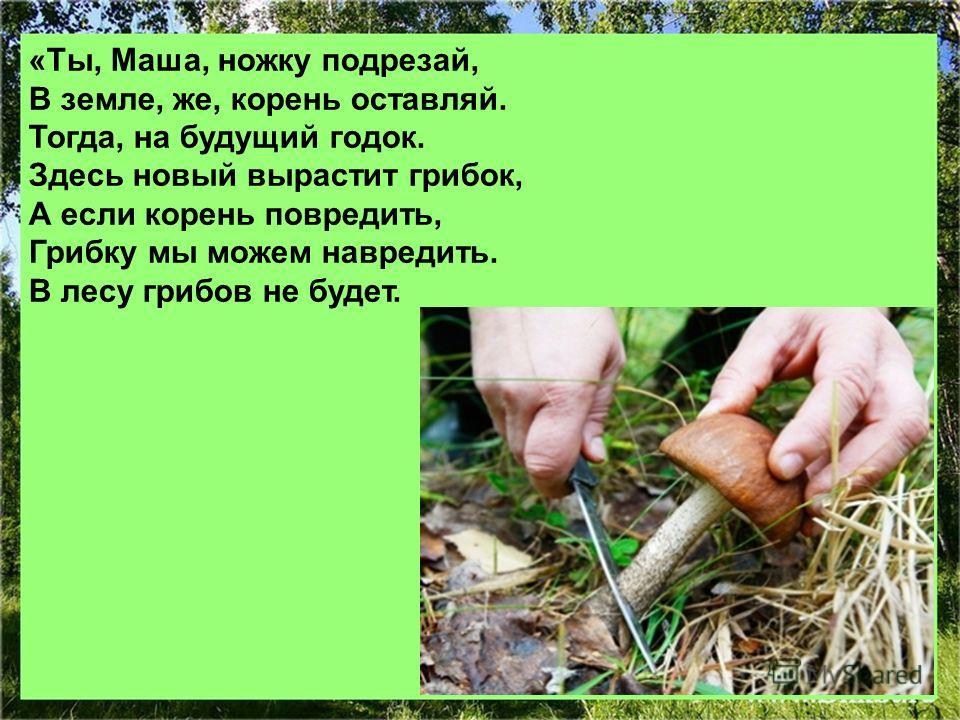 «Ты, Маша, ножку подрезай, В земле, же, корень оставляй. Тогда, на будущий годок. Здесь новый вырастит грибок, А если корень повредить, Грибку мы можем навредить. В лесу грибов не будет.