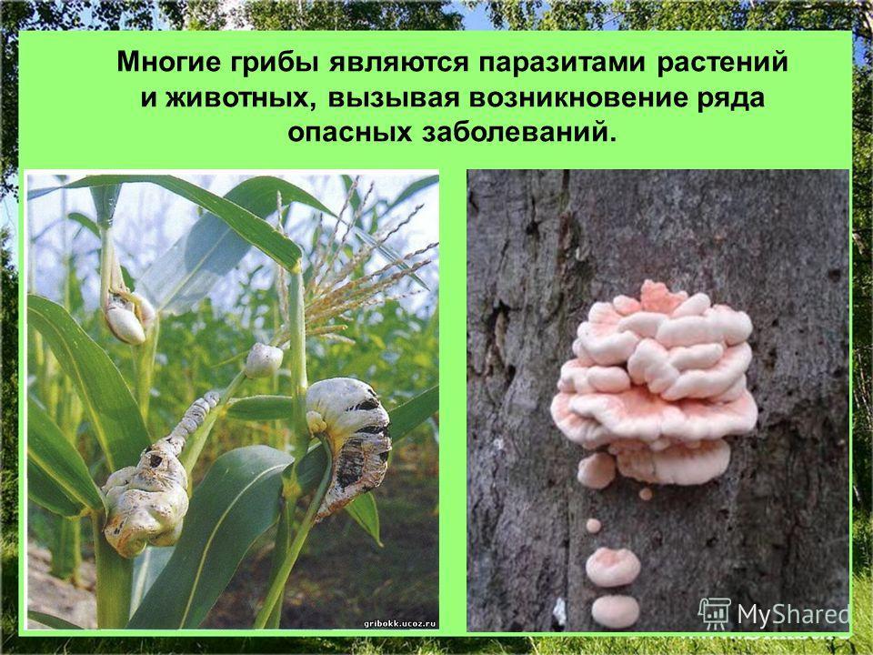 Многие грибы являются паразитами растений и животных, вызывая возникновение ряда опасных заболеваний.