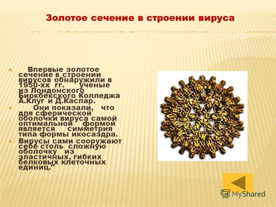 Впервые золотое сечение в строении вирусов обнаружили в 1950-хх гг. ученые из Лондонского Биркбекского Колледжа А.Клуг и Д.Каспар. Они показали, что для сферической оболочки вируса самой оптимальной формой является симметрия типа формы икосаэдра. Вир