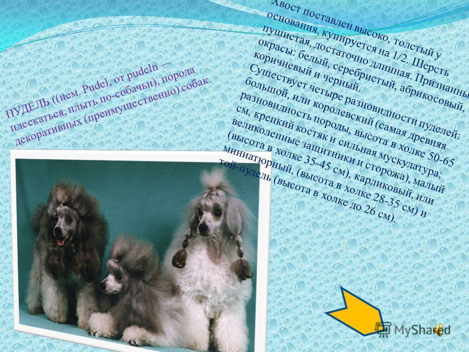 ЧАУ-ЧАУ, порода шпицеобразных собак. Чау-чау известна в Китае с древнейших времен. ЧАУ-ЧАУ, порода шпицеобразных собак. Чау-чау известна в Китае с древнейших времен.. Высота в холке 48-51 см. Вес 21-32 кг. Голова большая. Плоский череп, затянутый пер