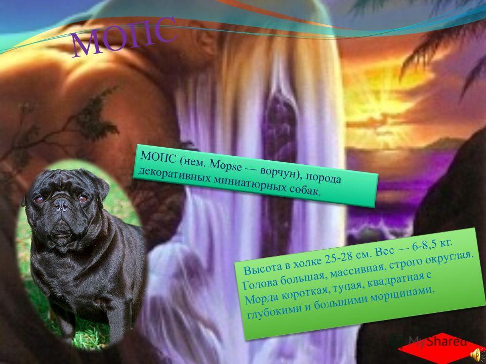 ПУДЕЛЬ ((нем. Pudel, от pudeln плескаться, плыть по-собачьи), порода декоративных (преимущественно) собак. Хвост поставлен высоко, толстый у основания, купируется на 1/2. Шерсть пушистая, достаточно длинная. Признанные окрасы: белый, серебристый, абр