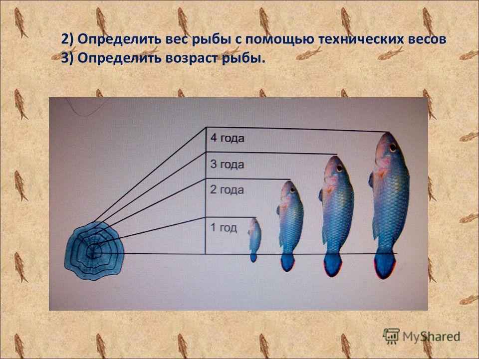 2) Определить вес рыбы с помощью технических весов 3) Определить возраст рыбы.