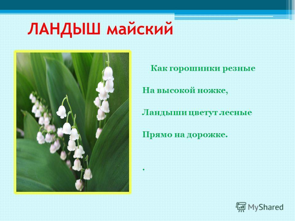 ЛАНДЫШ майский Как горошинки резные На высокой ножке, Ландыши цветут лесные Прямо на дорожке..