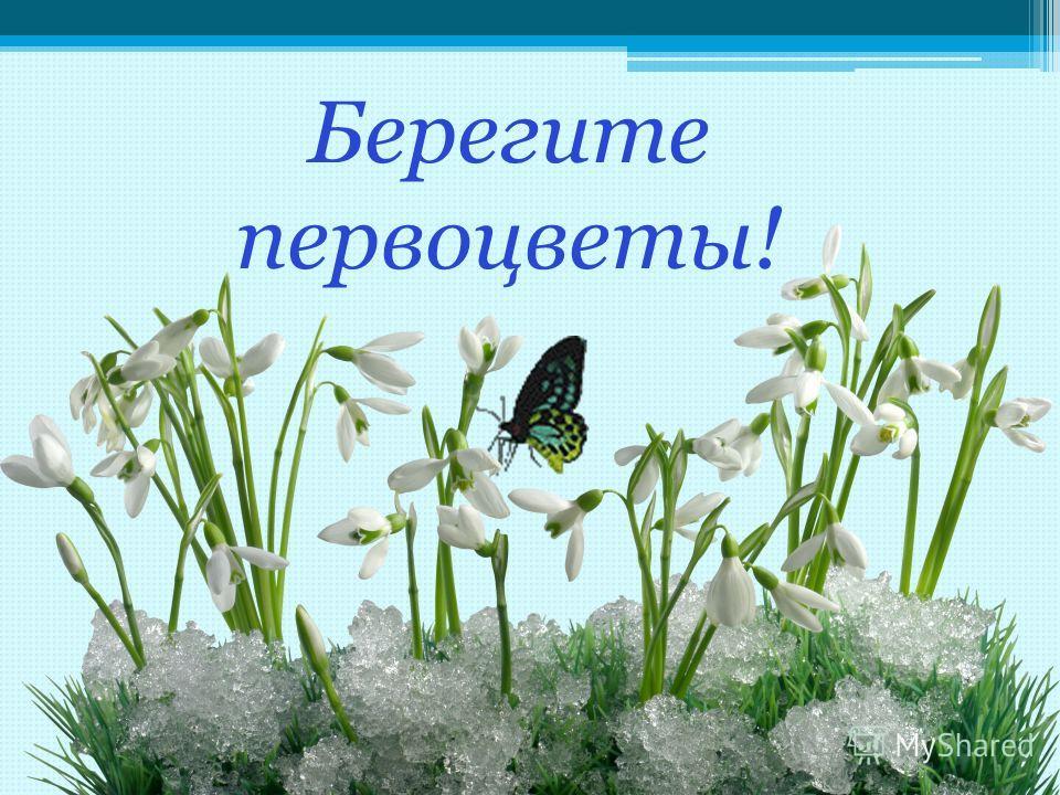 Берегите первоцветы!