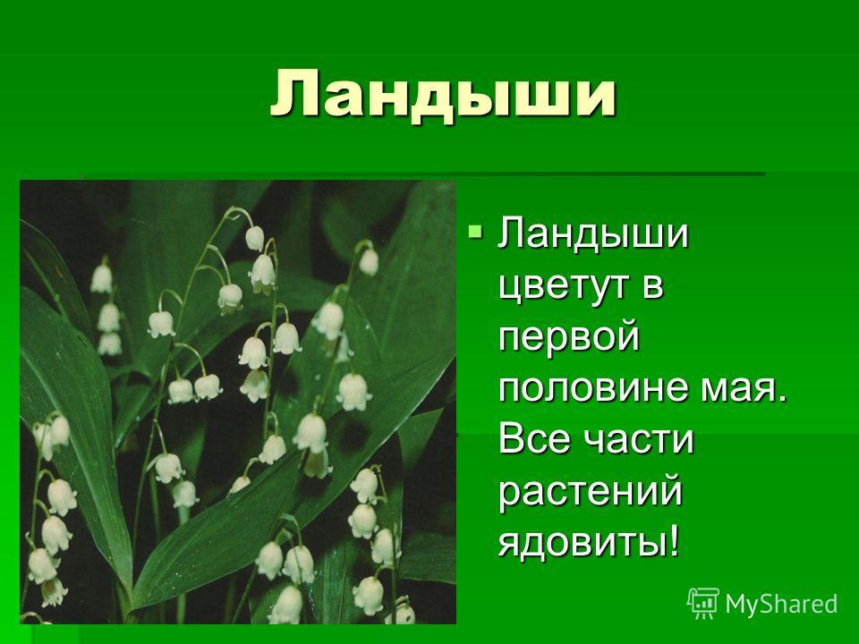 Ландыши ландыши ландыши Ландыши цветут в первой половине мая. Все части растений ядовиты! Ландыши цветут в первой половине мая. Все части растений ядовиты!