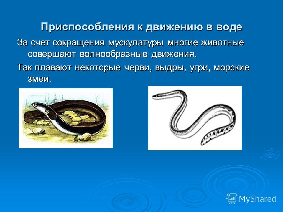 Приспособления к движению в воде За счот сокращения мускулатуры многие животные совершают волнообразные движения. Так плавают некоторые черви, выдры, угри, морские змеи.