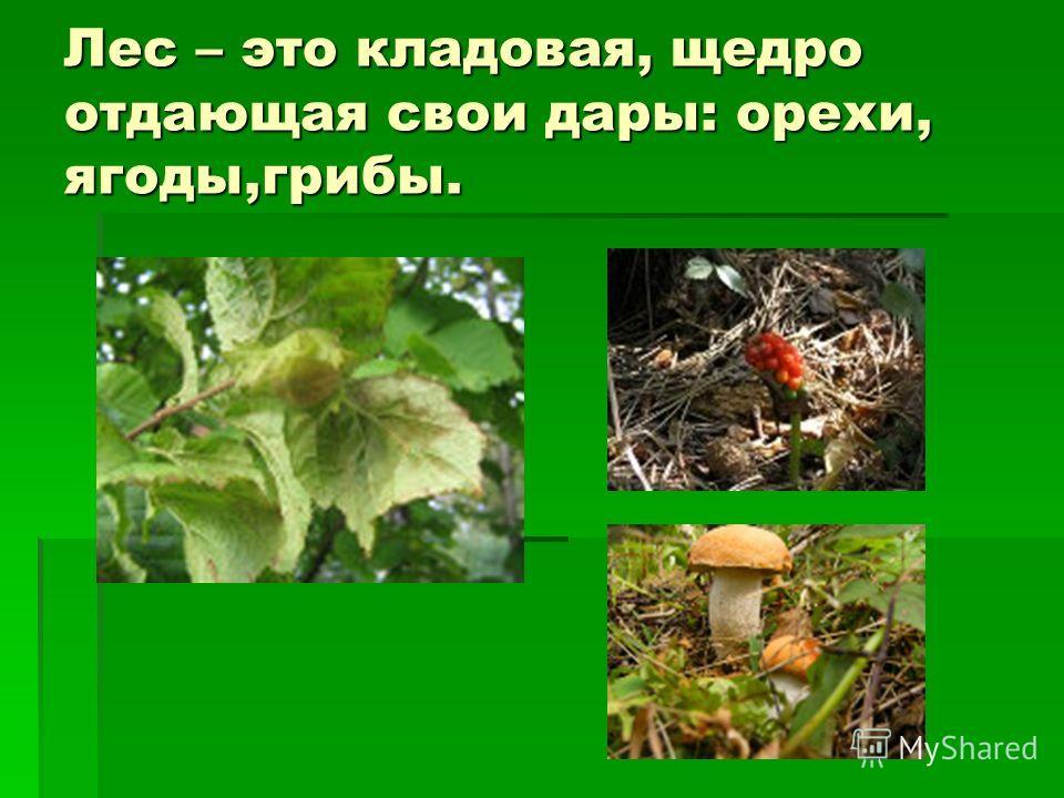 Лес – это кладовая, щедро отдающая свои дары: орехи, ягоды,грибы.