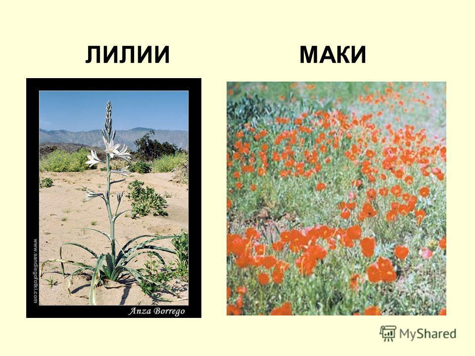 ЛИЛИИ МАКИ
