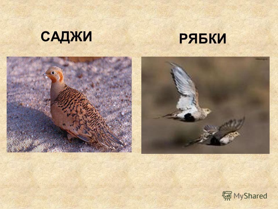 САДЖИ РЯБКИ