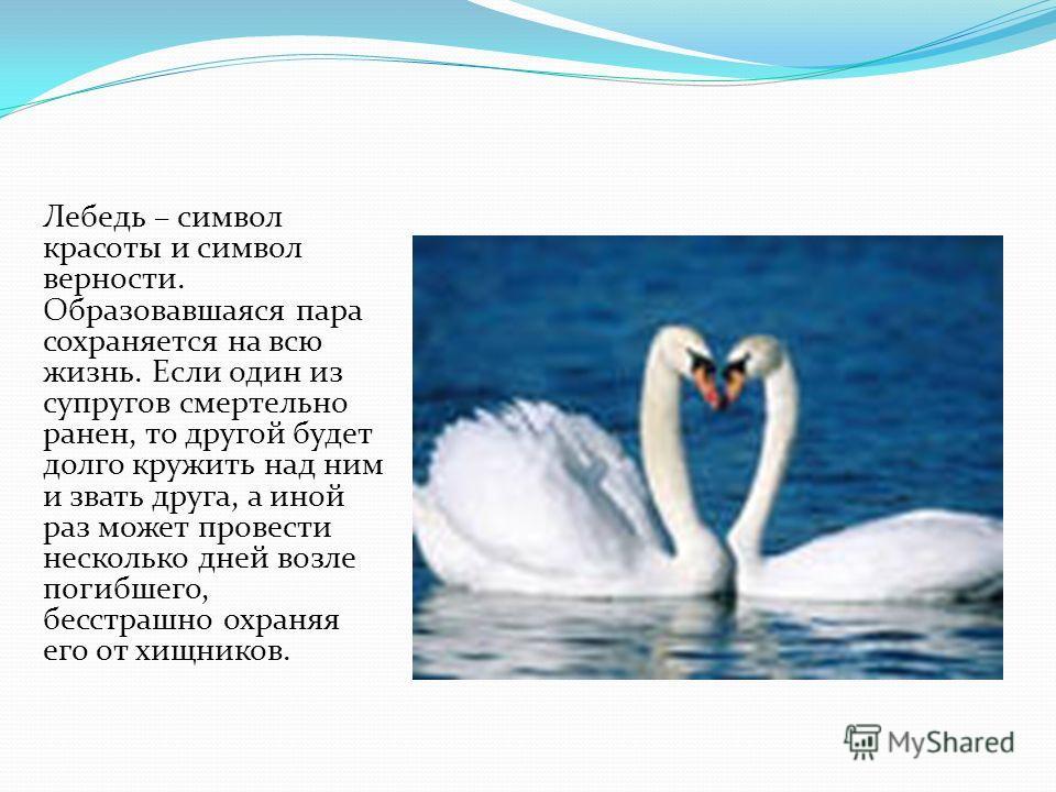 Лебедь – символ красоты и символ верности. Образовавшаяся пара сохраняется на всю жизнь. Если один из супругов смертельно ранен, то другой будет долго кружить над ним и звать друга, а иной раз может провести несколько дней возле погибшего, бесстрашно