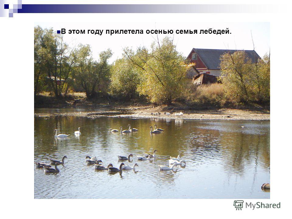В этом году прилетела осенью семья лебедей.