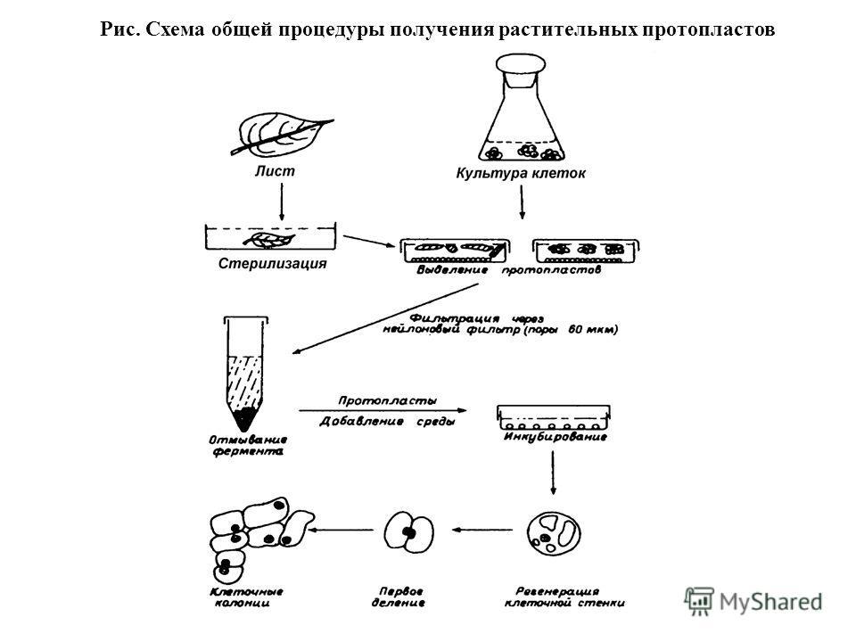 Рис. Схема общей процедуры получения растительных протопластов