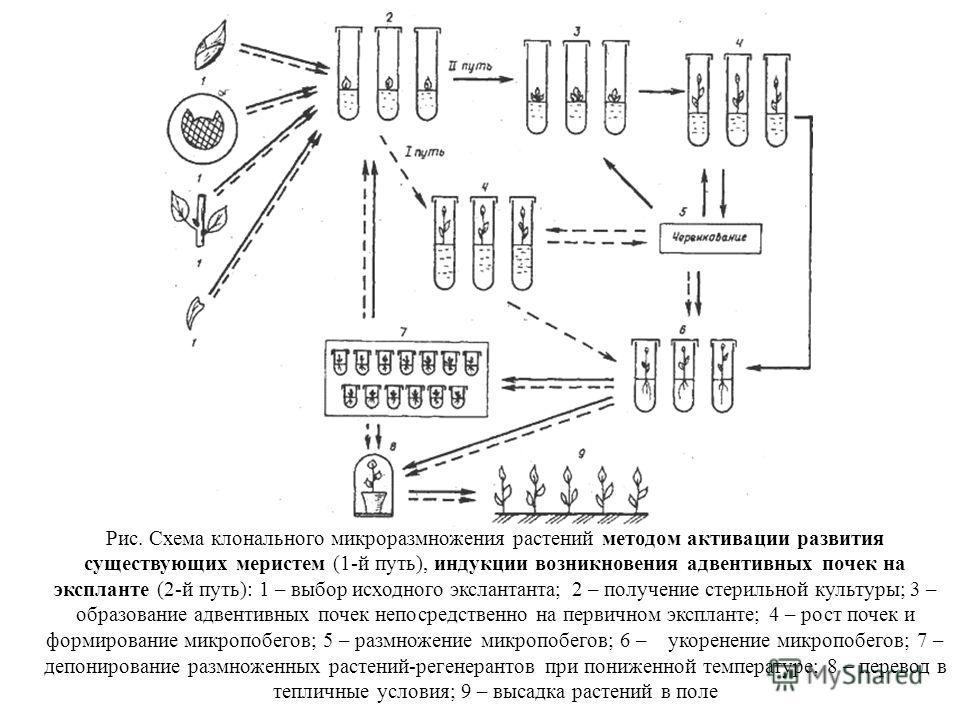 Рис. Схема клонального микроразмножения растений методом активации развития существующих меристем (1-й путь), индукции возникновения адвентивных почек на экспланте (2-й путь): 1 – выбор исходного экслантанта; 2 – получение стерильной культуры; 3 – об