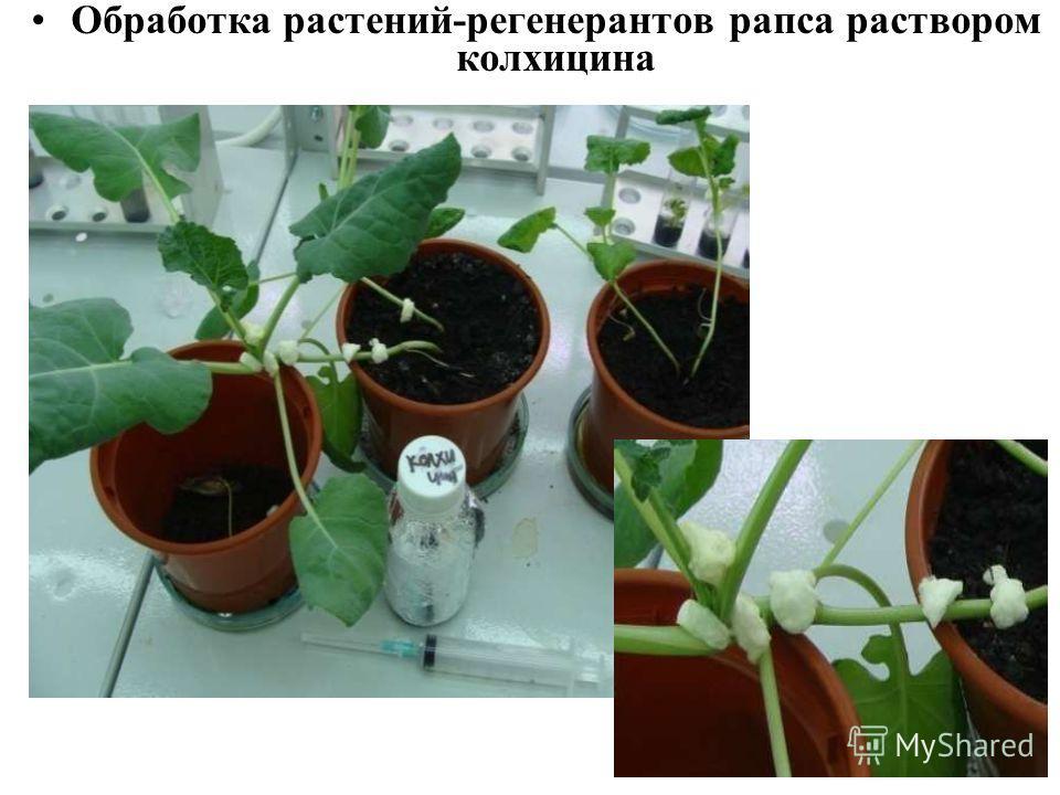Обработка растений-регенератов рапса раствором колхицина