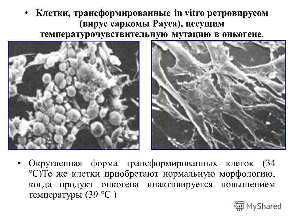 Клетки, трансформированные in vitro ретровирусом (вирус саркомы Рауса), несущим температурочувствительную мутацию в онкогене. Округленная форма трансформированных клеток (34 °С)Те же клетки приобретают нормальную морфологию, когда продукт онкогена ин