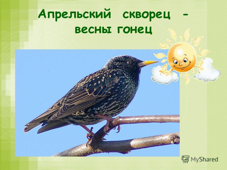 Апрельский скворец - весны гонец