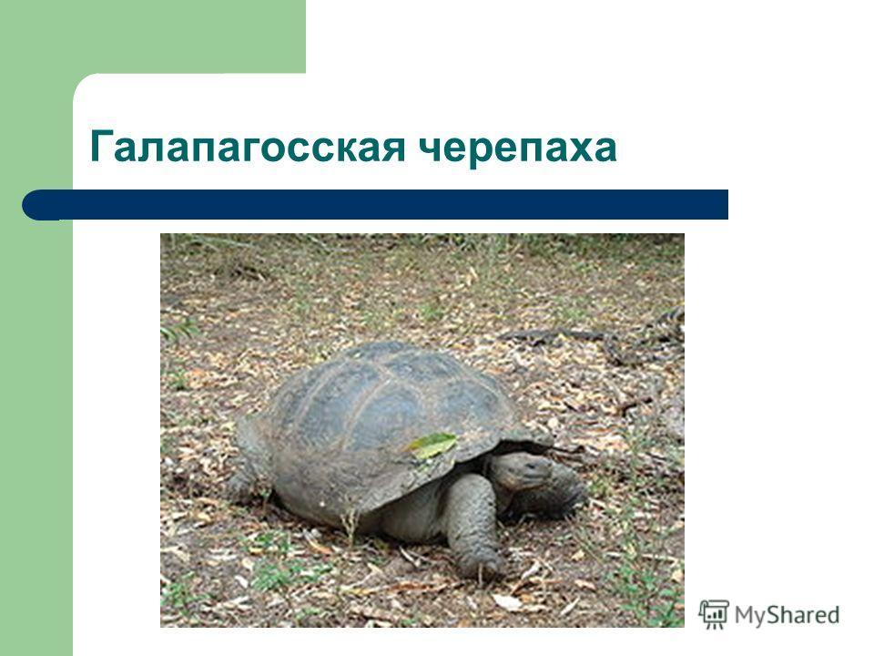 Галапагосская черепаха