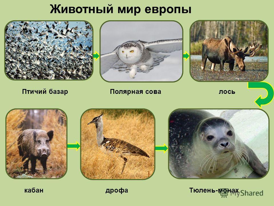 Животный мир европы Птичий базар Полярная совалось кабан дрофа Тюлень-монах