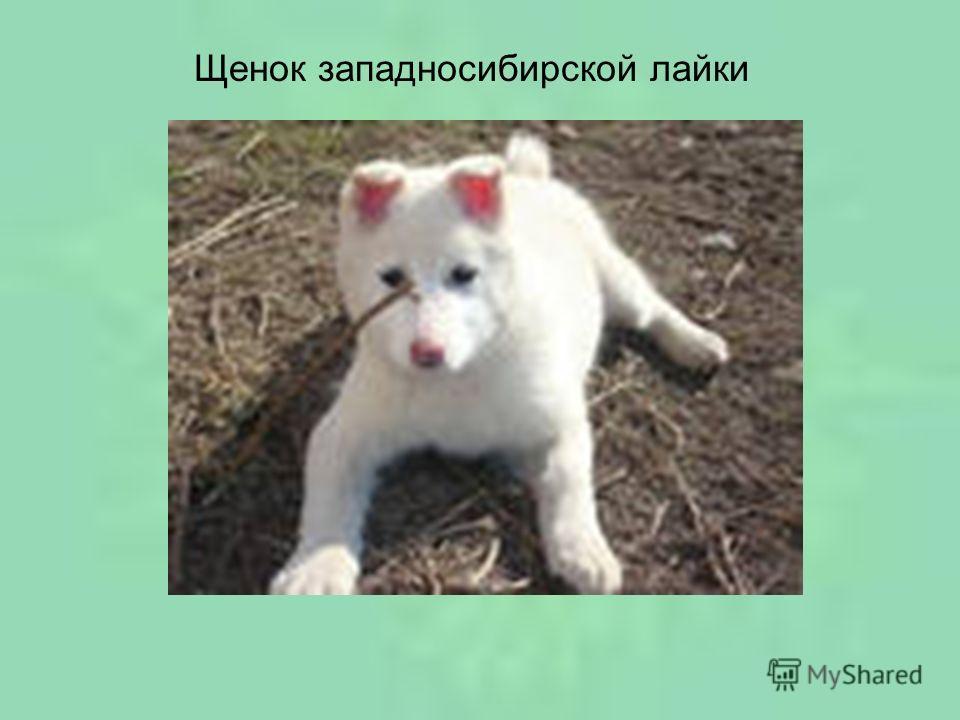 Щенок западносибирской лайки