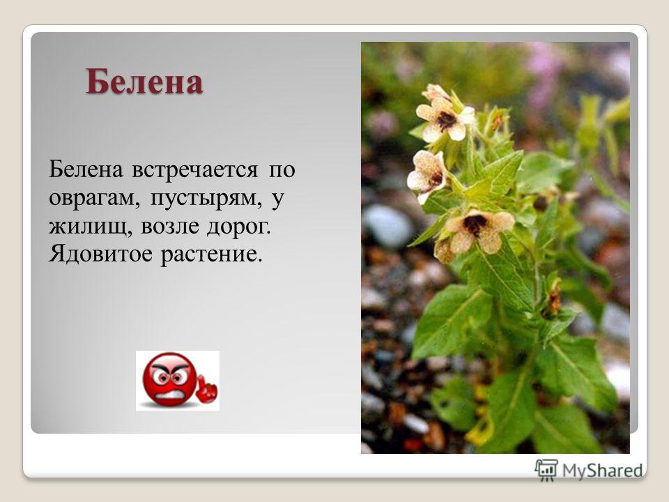 Белена Белена встречается по оврагам, пустырям, у жилищ, возле дорог. Ядовитое растение.